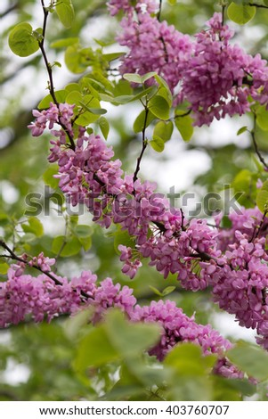 Beautiful pink purple Judas tree blossom branches - stock photo
