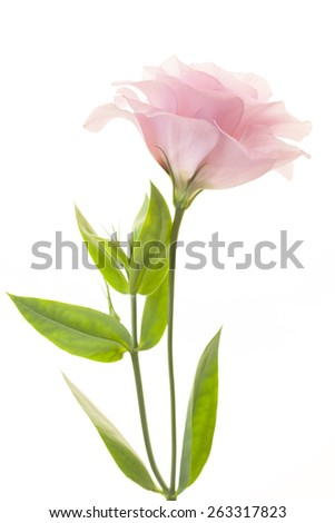 Beautiful pink rose flower isolated on white background - stock photo