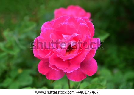 Beautiful pink rose in the garden - stock photo