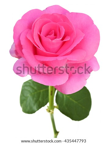 Beautiful pink rose isolated on white background - stock photo