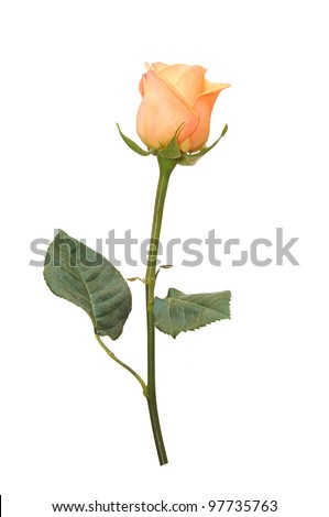 Beautiful pink rose on a white background. - stock photo