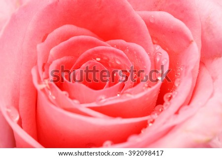 Beautiful  pink rose petals with water drops - stock photo