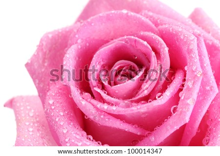 beautiful pink rose with drops close up, isolated on white - stock photo