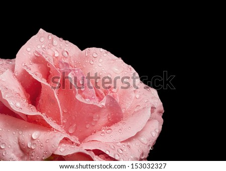Beautiful pink rose with water droplets on black - stock photo