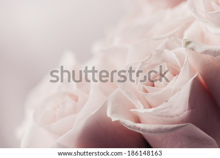 Beautiful pink roses  - stock photo