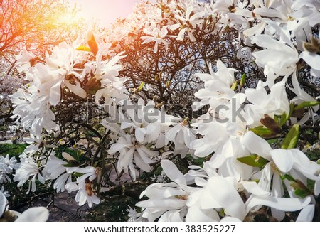 Beautiful pink spring flowers magnolia on a tree branch - stock photo