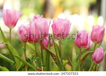 beautiful pink tulip blooming in the garden - stock photo