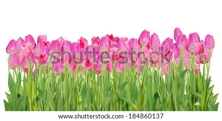 Beautiful pink tulip flowers isolated on white background - stock photo