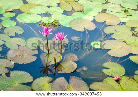 Beautiful Pink Water lilly in a pond with green leaves - stock photo