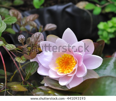beautiful pink water lily in a pond  - stock photo
