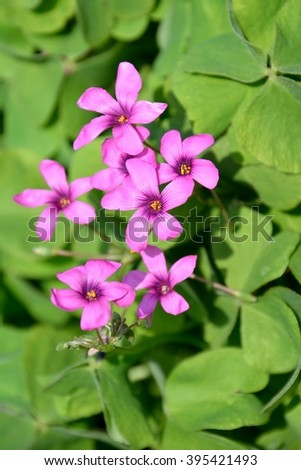 Beautiful pink wood sorrel flowers in spring - stock photo