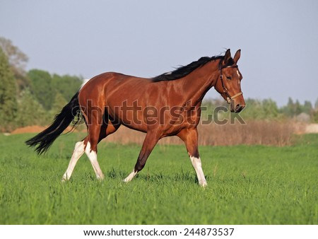 Beautiful pinto horse trots on green meadow  - stock photo