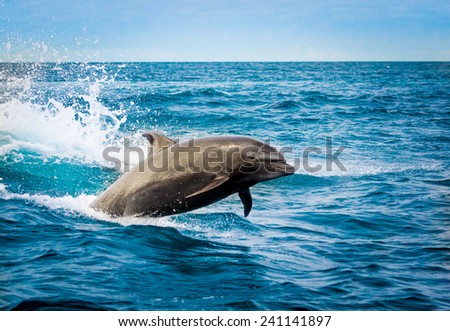 beautiful playful dolphin jumping in the ocean galapagos islands - stock photo
