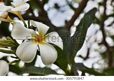 Beautiful Plumeria Flower that selective focus at Left Plumeria Flower with blur background - stock photo