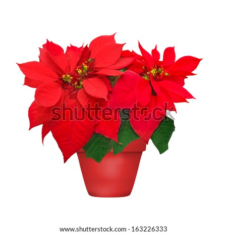 beautiful poinsettia in flowerpot. red christmas flower on white background  - stock photo