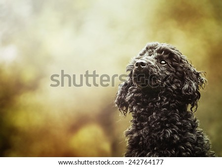 beautiful poodle dog puppy is waiting in autumn nature - stock photo