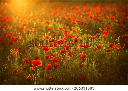 beautiful poppies meadow at sunset - stock photo