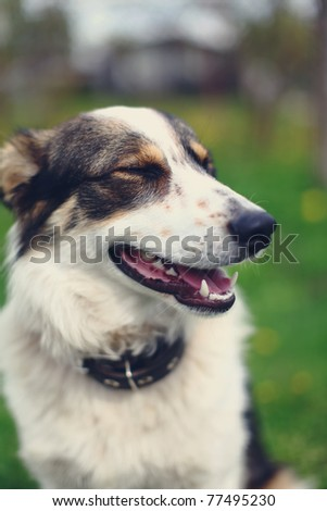 Beautiful portrait of a adorable dog. Curious look of this mixed-breed dog but he looks like a eskimo dog. - stock photo
