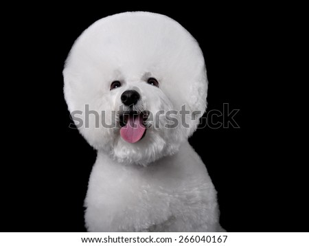 Beautiful portrait of a Bichon Frise dog breed  on a black background - stock photo
