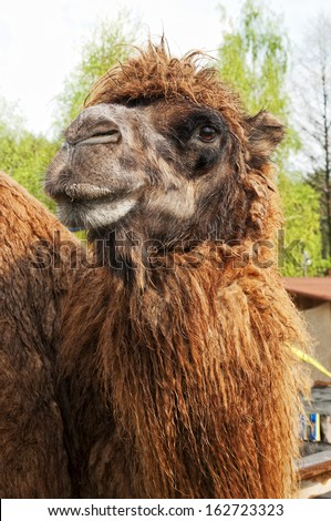 beautiful portrait of a camel - stock photo