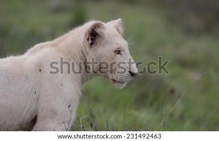Beautiful portrait of a white lion cub. - stock photo