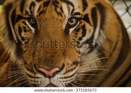 Beautiful Portrait of Amur Tigers close up  - stock photo