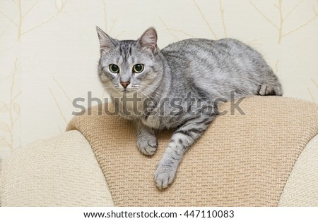 Beautiful portrait of grey cat, Portrait of green-eyed cat close up. Kitten resting on a sofa close up, curious cat - stock photo