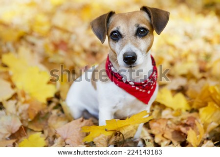 Beautiful portrait of Stylish dog with red bandanna in a beautiful autumn park.  - stock photo