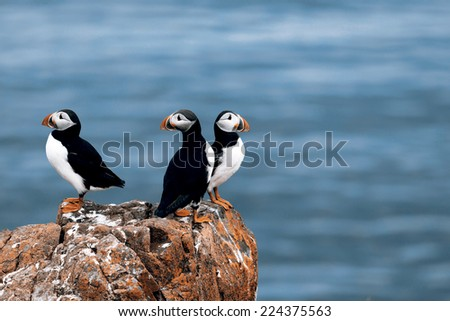 Beautiful puffins from Iceland - stock photo