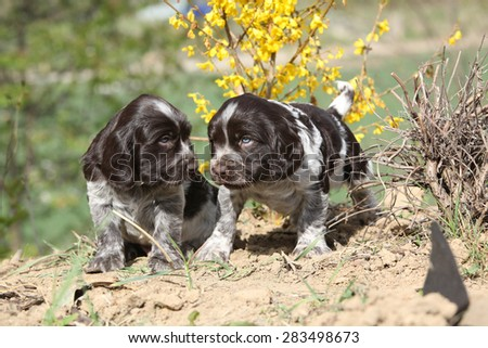 Beautiful puppies of German Quail Dog in spring - stock photo