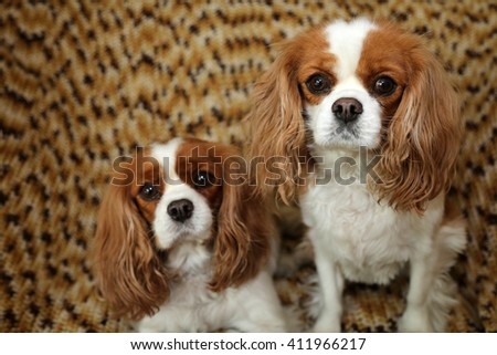 Beautiful Pure Breed cavalier King Charles Cavalier Spaniel dogs.   - stock photo