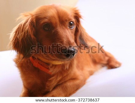 Beautiful purebred brown longhaired dachshund dog, selective focus - stock photo