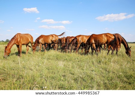 Beautiful purebred chestnut horses grazing on pasture summertime against blue sky - stock photo