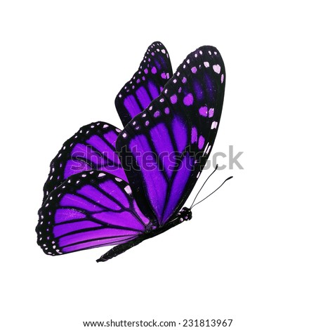 Beautiful purple butterfly flying isolated on white background - stock photo