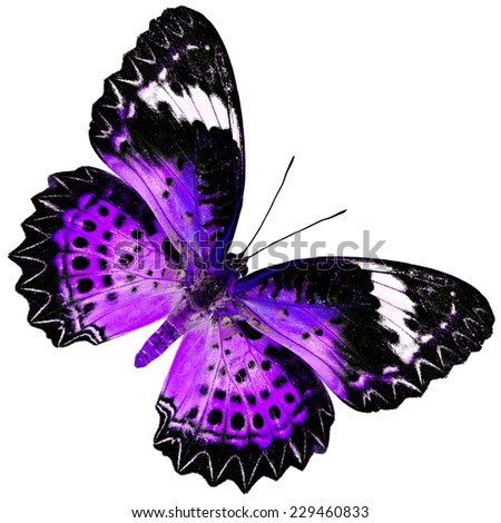 Beautiful Purple Butterfly (Leopard Lacewing Butterfly) upper wing profile in fancy blue color isolated on white background - stock photo