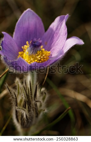 Beautiful purple flower at spring in the meadow - stock photo