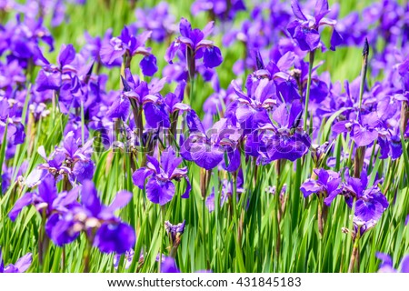 Beautiful purple iris flowers in the garden/Selective focus - stock photo