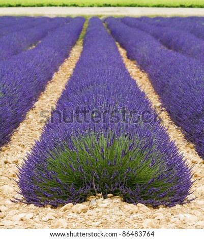 Beautiful purple lavender field in provence - France - stock photo