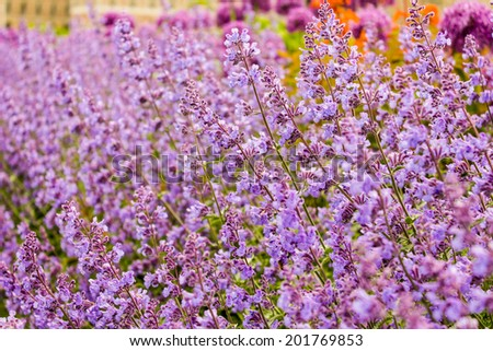 Beautiful purple lavender flowers in the field - stock photo
