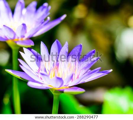 Beautiful purple lotus in the lake on sunny day - stock photo