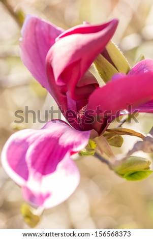 Beautiful purple Magnolia liliiflora flower - stock photo