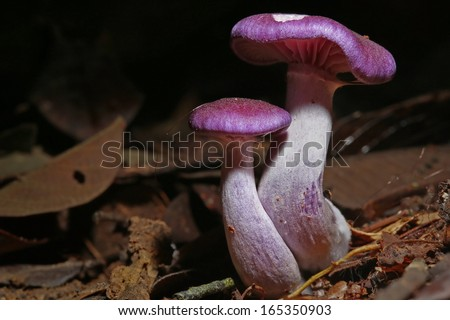 Beautiful purple mushrooms grow from the rainforest floor in the Danum Valley of Malaysian Borneo. - stock photo