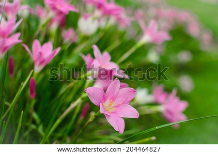 beautiful purple rain lily flower in Changmai Thailand. - stock photo