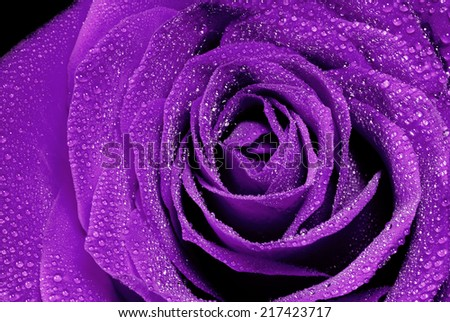 beautiful purple rose detail  whit water drops - stock photo