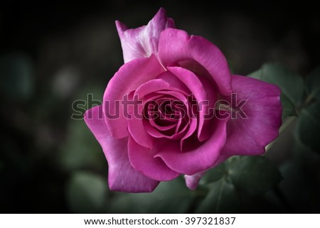 Beautiful purple rose on dark green background - stock photo
