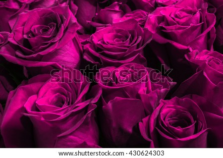 beautiful purple roses isolated on a black background. close-up. festive bouquet.  - stock photo