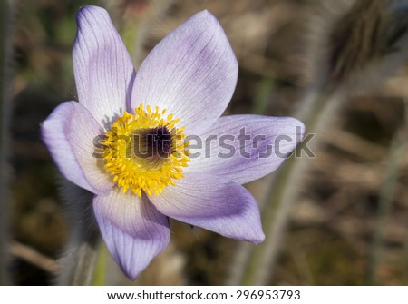 Beautiful purple spring flower - wind-flower  - stock photo