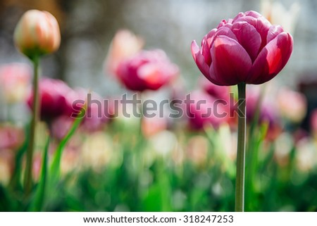 Beautiful  purple tulip flower with bright blurred background - stock photo