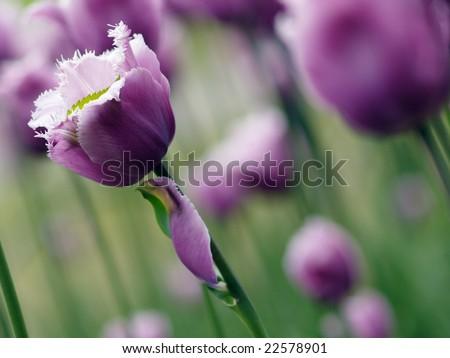 Beautiful purple tulips on Canadian Tulip Festival in Ottawa - stock photo