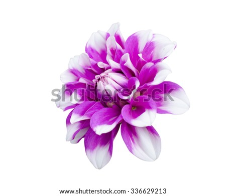 Beautiful purple white dahlia flower bloom  isolated on white background, clipping path. - stock photo